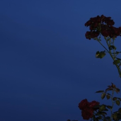 "nightskywith roses • <a style=""font-size:0.8em;"" href=""http://www.flickr.com/photos/41073551@N05/3878429361/"" target=""_blank"">View on Flickr</a>"